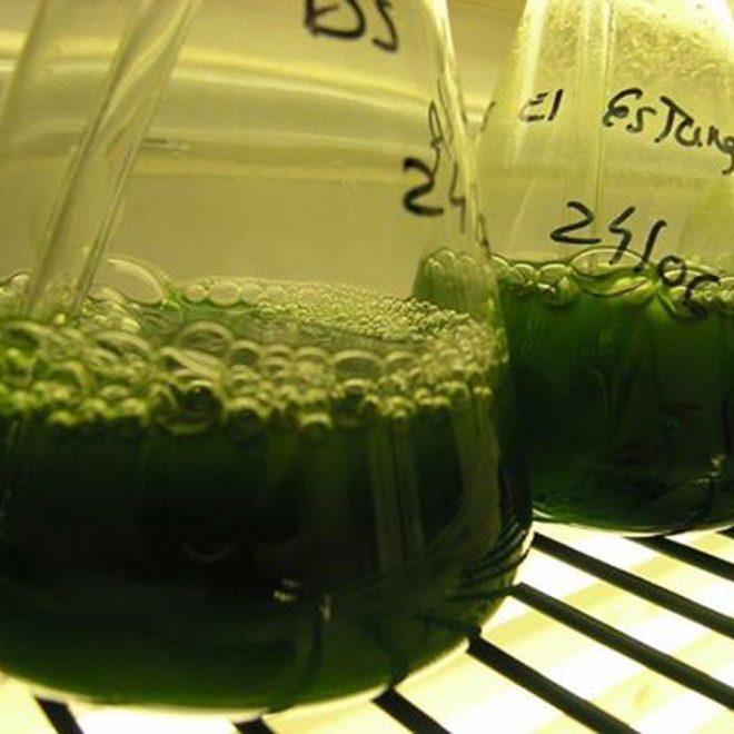 microalgas1